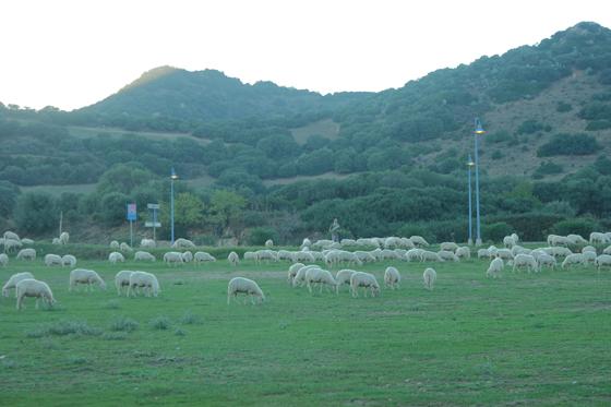 """Sardische Schafe geben die Milch für den """"Peccorino"""", sardischen Schafskäse"""