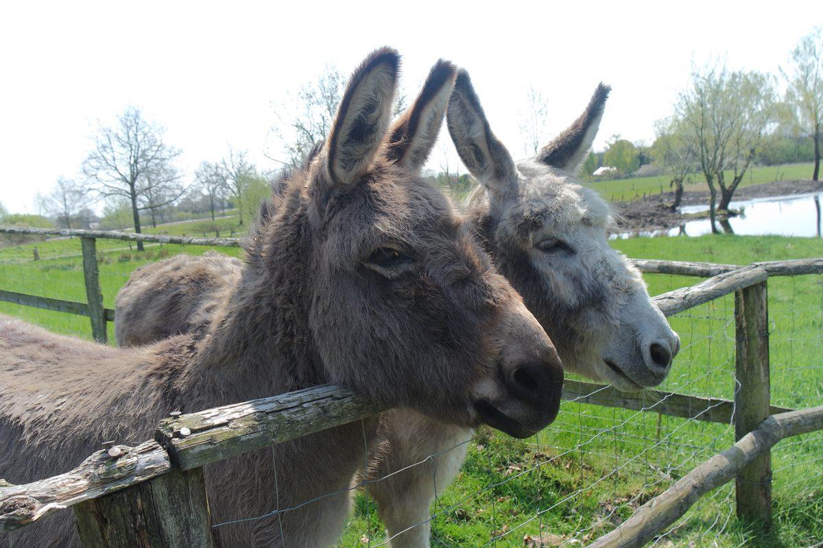 Gut Wulksfelde Esel