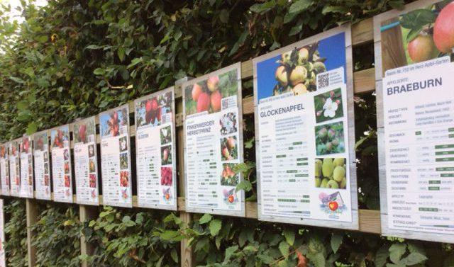 Apfelernte Altes Land Apfelsorten