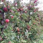 Im Apfelgück: Äpfel pflücken im Alten Land