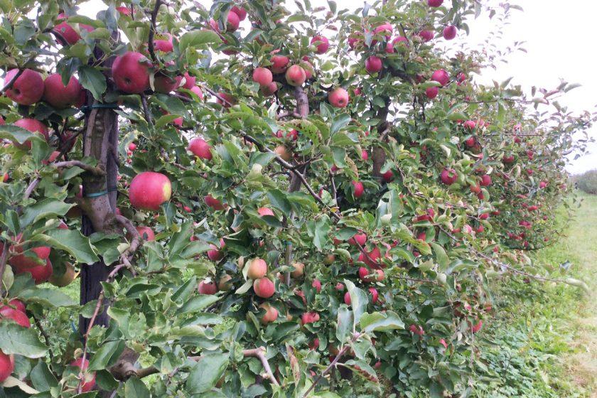 Apfel pflücken Apfelernte Apfelbäume Altes Land