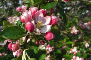 Apfelblüte Blütenfest Jork